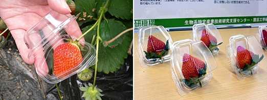個別包装容器の使用例。(左)ほ場で収穫してそのまま収容できる。(右)自立式なのでそのまま陳列できる。