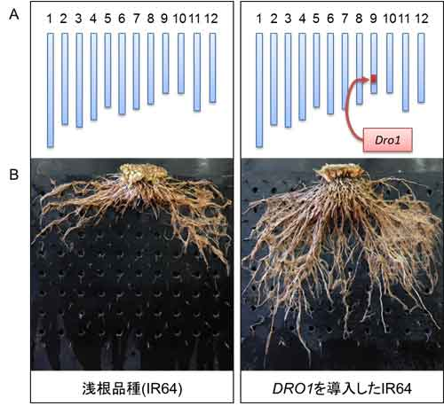 DRO1遺伝子を導入したIR64(右)と従来品種。右は根ののびる方向が下向きになっている。