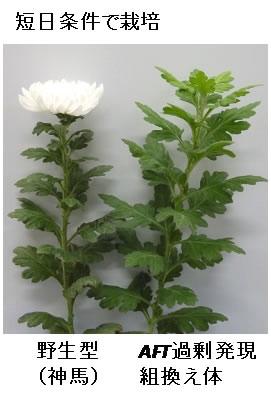 アンチフロリゲン(AFT)による開花抑制キク(右)と野生キクの比較。AFT遺伝子を過剰発現する遺伝子組換え体は、同じ条件下でも開花しない。写真は短日条件での56日目の様子