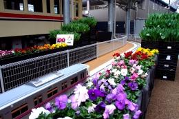 京王れーるランドに設置された100周年記念花壇。チューリップの花が咲き乱れる1月下旬までが見ごろ