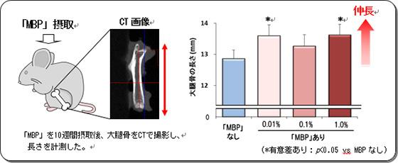 「MBP」投与後の大腿骨の長さ