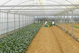 農地法改正以後、食品関連企業による施設園芸への参入が増えている(静岡県浜松市で)