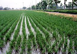 青々と稲の苗が映える水田