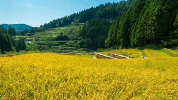 元年産米取引数量 対前年比4割減-5月末 農水省調べ