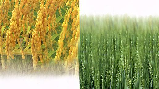 穀物検定協会