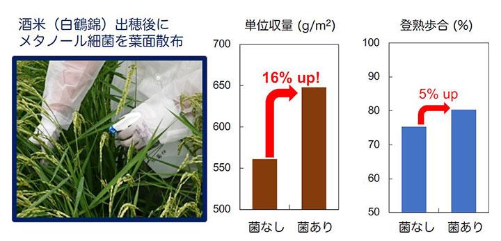 微生物と細胞壁成分の葉面散布で酒米16%増収 白鶴と京大の共同研究
