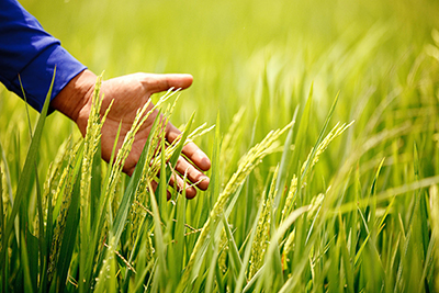 稲の直播栽培促進で提携 IRRIとBASF