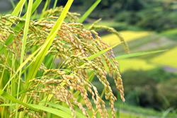【緊急調査・29年産米の作柄見込みと30年産米の課題】主要219JAのコメ担当者の声【中国】