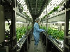GMイチゴを生産する完全密閉型植物工場