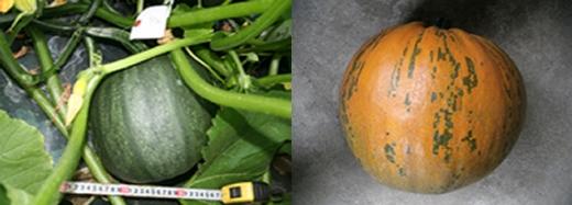 ストライプペポの外観。左は開花15日後、右は開花50日後で収穫したもの。収穫から1カ月後に種子を取り出せる。