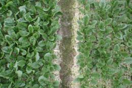 写真はほ場でのようす。左がオシリス。右が従来のホウレンソウ品種