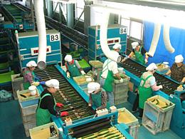 最新の施設で選果される「フレッシュグリーン」のキュウリ(JAちばみどり営農センター旭)