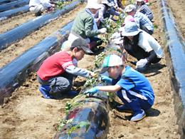 JA前橋市(群馬)でサツマイモの苗植え体験をする子どもら
