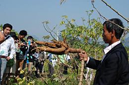 ドンタム村の集落視察。写真はキャッサバ。調味料の原料としても使われる。収穫が始まるのが12月。ドンタム農協職員の説明を聞く研修団員