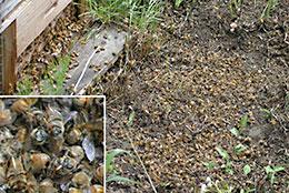 ミツバチのへい死
