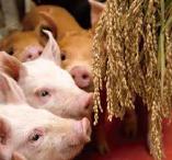 飼料用米で育てられている豚