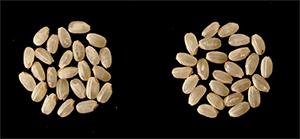 「キヌヒカリ」(左)、「はるみ」(右)の玄米の比較
