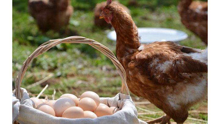 コロナ禍の「廃鶏」救うプロジェクトCFで始動 ハコニワ・ファーム