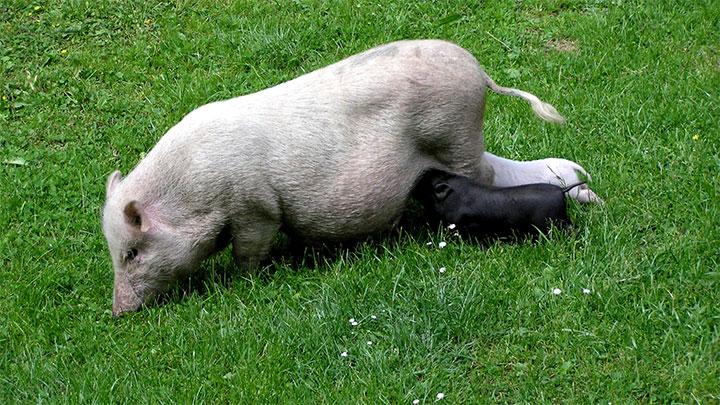 世界の豚飼料市場規模 2027年までに1212億ドルに達すると予測