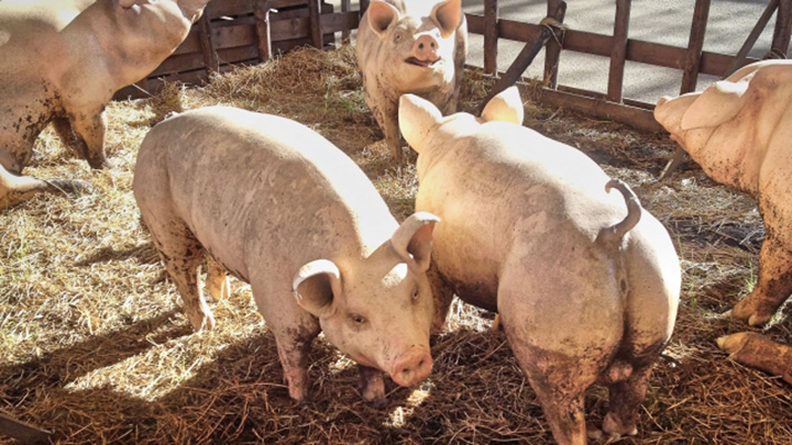持続可能な養豚産業の発展へ「PRRSアワード2020」受賞業績発表