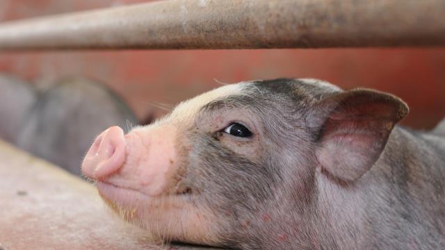 豚サーコウイルス2型ワクチン「インゲルバック サーコフレックス」適応拡大