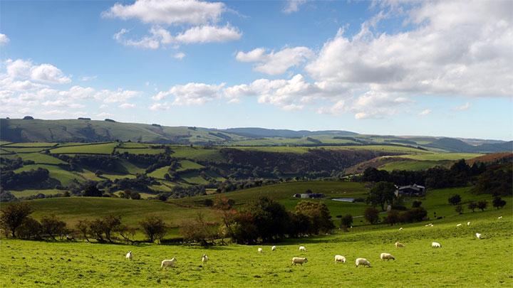広い牧草地でストレスフリー環境で羊を飼育