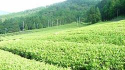 「美濃いび茶」の茶畑