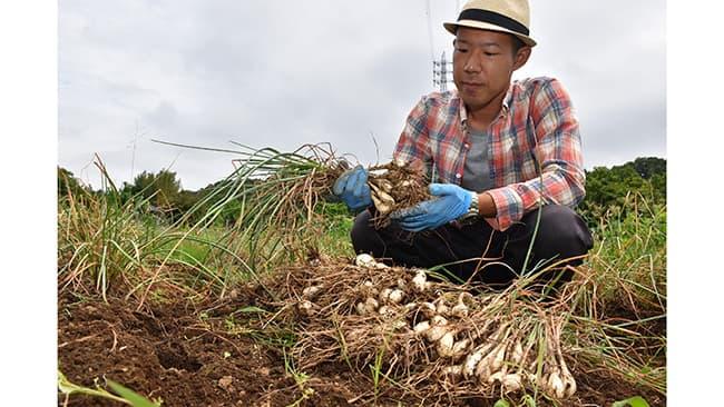 ラッキョウを収穫する新規就農者の穂坂さん(神奈川県厚木市で)