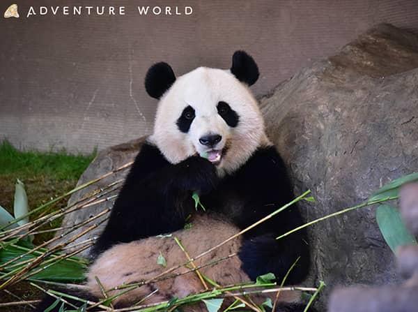 アドベンチャーワールドのジャイアントパンダ「桃浜」