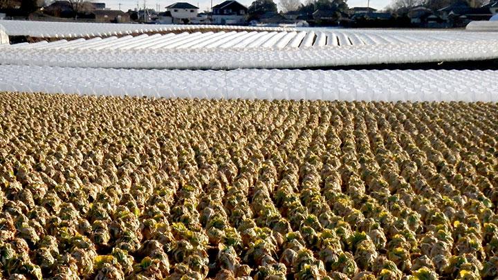 契約農家の畑を巡回してキャベツの生育を確認(JAとぴあ浜松提供)