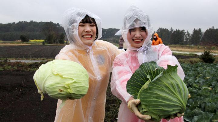 #2キャベツ収穫の様子