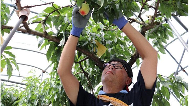 「はなよめ」を収穫する生産者の石川さん