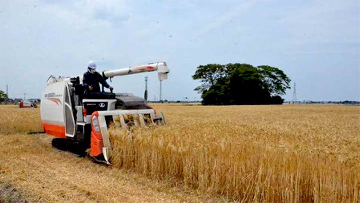 大麦収穫の様子