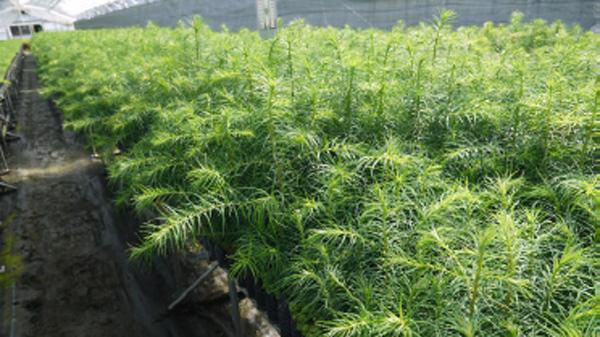 低コスト再造林プロジェクト広がる 「アサヒの森」でも実証試験-全森連・農林中金