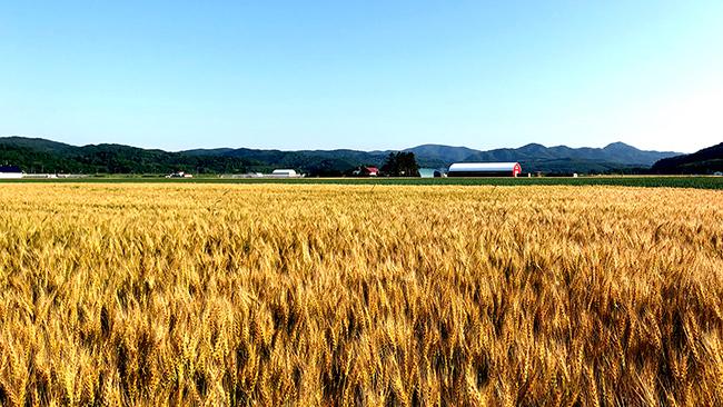 「光と風の大地」北海道の小麦畑