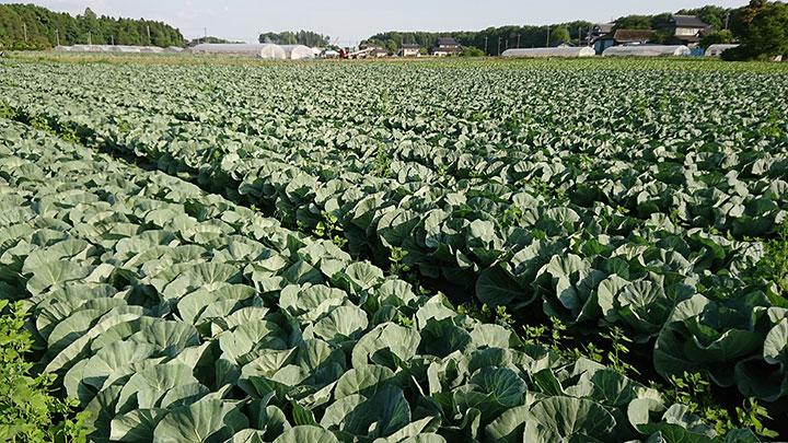 農業産出額全国3位を誇る茨城のキャベツ