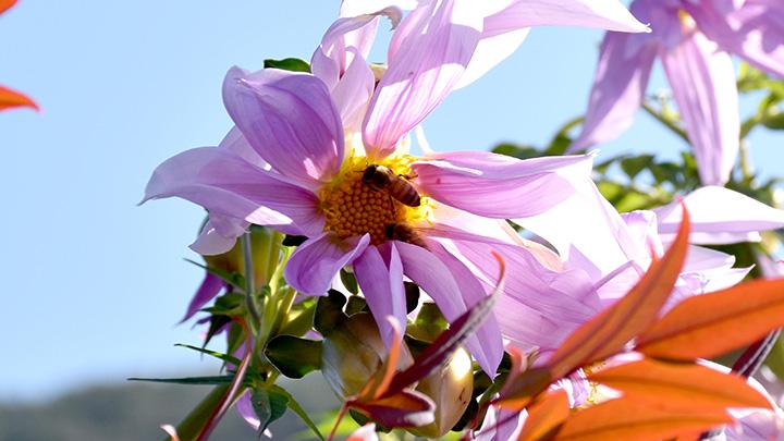 花粉送粉者(ポリネーター)であるミツバチ