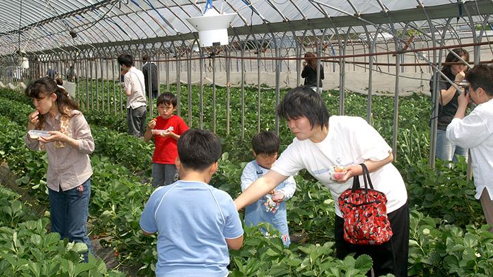親子で賑わう観光イチゴ園