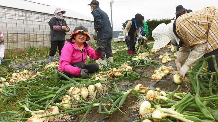 新玉ねぎの収穫(東延岡支部)