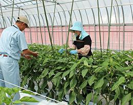 IPM手法と慣行栽培の比較も行っているパプリカ