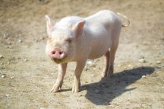 クローズアップ・豚コレラ問題