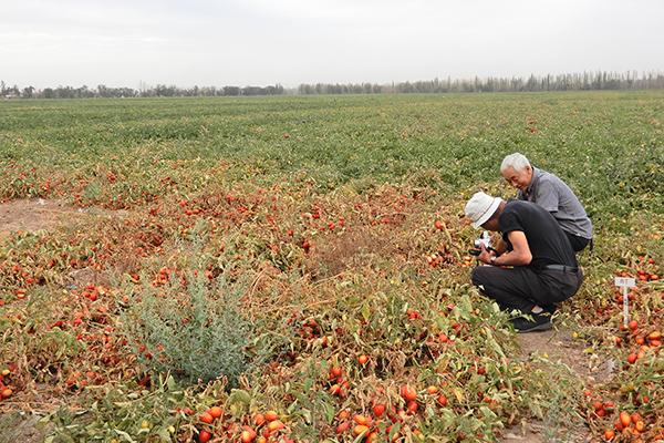 【クローズアップ・新疆ウイグルのトマト】加工資本支配のトマト産地 世界最大の中国・新疆ウイグル