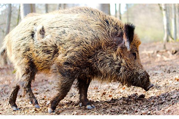 【クローズアップ・豚コレラ問題・2】豚コレラ抑え込めるか ベルト地帯の構築必要