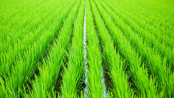 早期栽培「やや不良」 大雨 日照不足で-7月15日現在 農水省調査