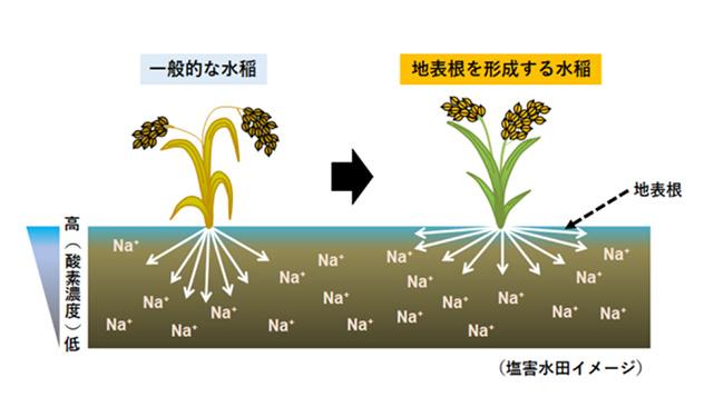 塩害に負けないイネの開発に成功 農研機構、東北大、産総研が世界初
