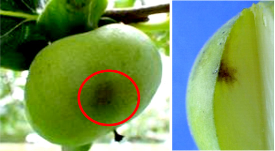 果樹カメムシ類の被害を確認 山形県病害虫防除所 発生状況の確認と注意を呼びかけ