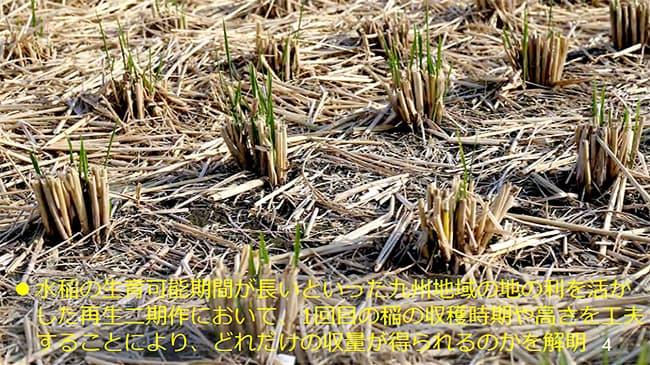「ひこばえ」活用で多収 農研機構 九州中心に普及へ