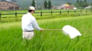 トビイロウンカの防除求める 熊本県病害虫防除所が通知