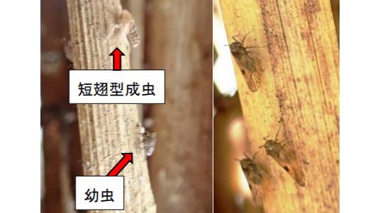 【病害虫発生情報】トビイロウンカに警報1号 京都府