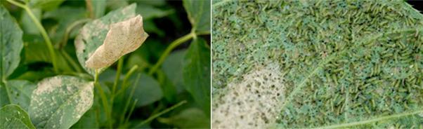 大豆白変葉(若齢幼虫による食害)・葉裏に群がるハスモンヨトウ若齢幼虫